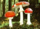 <i>A. muscaria</i> var.<i>muscaria</i> Mushrooms