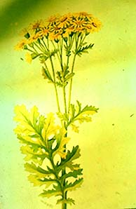 Plants Poisonous to Livestock - Animal Science - Cornell ...