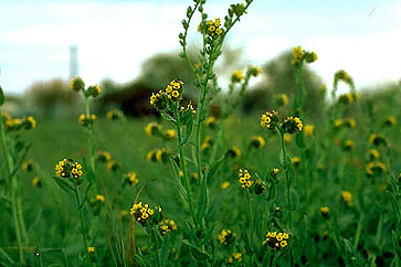Plants Poisonous To Livestock Animal Science Cornell University