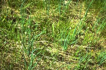 Plants Poisonous to Livestock - Animal Science - Cornell